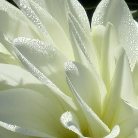 Morning Dew by Viive Selg - Flowers Single Flower (  )