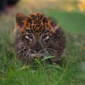 Leo2 by Abhinav Ganorkar - Animals Lions, Tigers & Big Cats ( animals, jungle, wildlife, cubs, leopard,  )