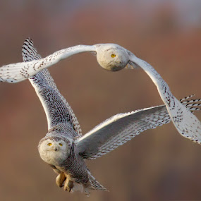 Owl Fight by Herb Houghton - Animals Birds