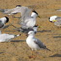 Great Crested Tern and Silver gull