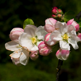 Apple Blossoms With SFX by Lydia Bishop - Digital Art Things