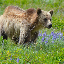 Young Grizzley, East Glacier  by Greg Koehlmoos - Animals Other Mammals ( bear, hiking with bears, glacier national park bears, bears in montana, grizzlies, hiking in glacier, bear safety, montana, bears, young grizzley, young bear, glacier national park,  )