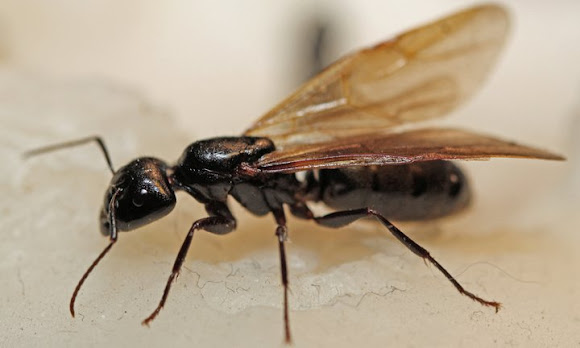 Power Ant Fly : Flying ant project noah