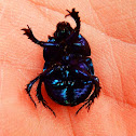 Wood dung beetle