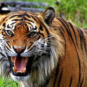 Sumatran Tiger by Phil Le Cren - Animals Lions, Tigers & Big Cats ( big cat, cat, orana wildlife park, tiger, sumatran tiger, animal )