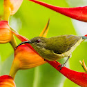 Olive-Backed Sunbird ♀