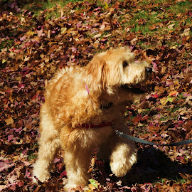 Pup Run by Vijay Govender - Animals - Dogs Playing ( animals, pets, dog, wheaten terrier )