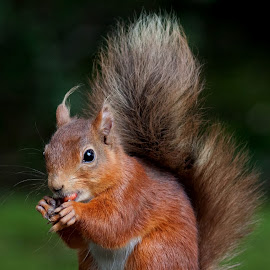 red squirrel by Mark Mowbray - Animals Other Mammals ( mammals, red, northumberland, blagdon, milkhope, cute, squirrel )