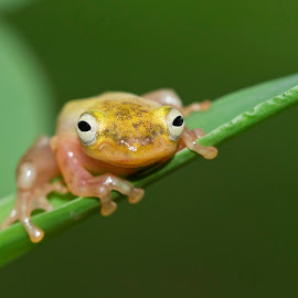 Tree forg by Kurito Afsheen - Animals Amphibians