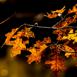 Autumn leaves by Rajeev Krishnan - Nature Up Close Leaves & Grasses ( fall colors, autumn, fall, nature up close, leaves )