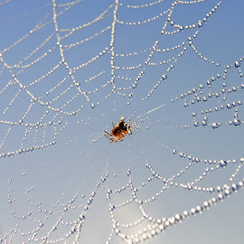 by Slavko Marcac - Nature Up Close Webs ( sky, blue, spider, net )