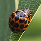 Common or Large Spotted Ladybird