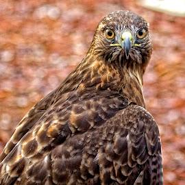 Ferruginous Hawk by Sandy Scott - Animals Birds ( birds of prey, ferruginous hawk, falconry, birds, raptors, hawk,  )