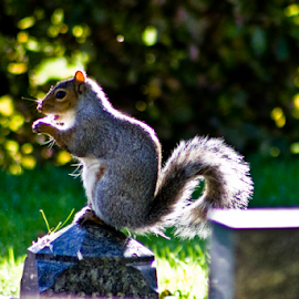 by Mike Ross - Animals Other Mammals ( northampton, mike ross, grey squirrel, mammal, squirrel )