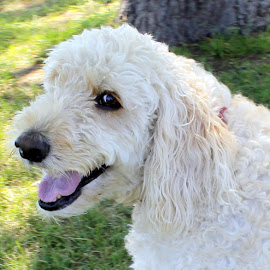 Happy Dog by Mary D'Alba - Animals - Dogs Portraits ( labradoodle, white, white dog, smile, happy dog )