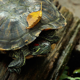Turtle by Leyon Albeza - Animals Reptiles ( green, amphibians, turtle,  )