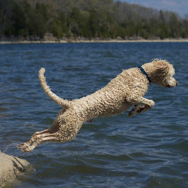 Leap by Ross Bolen - Animals - Dogs Playing