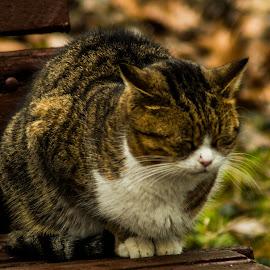 by Тихомир Драгомиров - Animals - Cats Kittens ( golden hour, sunset, sunrise )