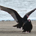 Turkey Vulture (pair)