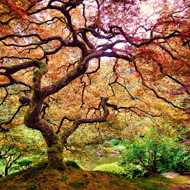 Japanese Maple by Jake Egbert - Nature Up Close Trees & Bushes ( oregon, japanese maple, portland, tree, 2014, japanese gardens, pdx, bonsai )