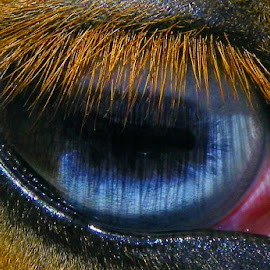 Blue Eyes... by Diana O'Bryan - Animals Horses ( macro, blue, horse, beautiful, mammal, eyes, animal,  )