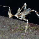 Thread-legged Assassin Bug
