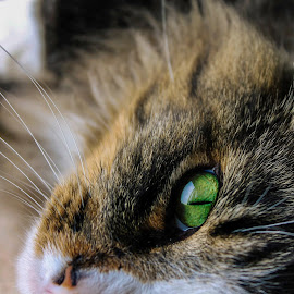 . by Brittany Ritchea - Animals - Cats Portraits