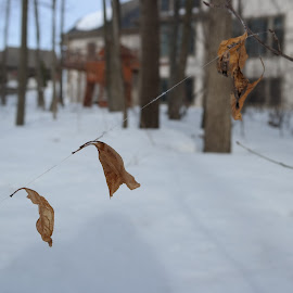 Nature's Tightrope by Max Kulik - Nature Up Close Webs ( winter, snow, sticks, leaves, spider web )