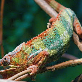 Chameleon by Michael Laird - Animals Reptiles