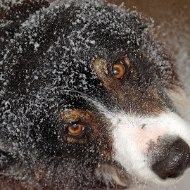 Frosty Dog by Judy Pics - Animals - Dogs Portraits ( winter, border collie, snow, frost, dog, eyes )