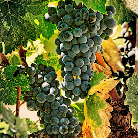 Napa valley, Ca. Waiting for harvest. by Ken Bittancourt - Nature Up Close Gardens & Produce