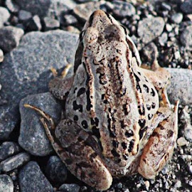 Toad by Jim Dicken - Animals Amphibians