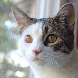 ~Cat~ by Jesse Thrush - Animals - Cats Portraits ( face, kitten, cat, feline, portrait )