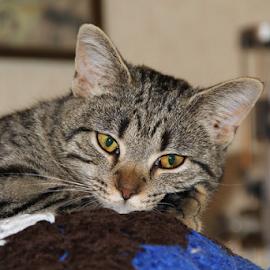 I'm Bored. by Marsha Biller - Animals - Cats Kittens ( resting, kitten, paw on face, egyptian mau, black/gray stripes, portrait )