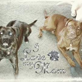 pitty boxer and pitty rott waiting patiently  by Jessica Johnston - Animals - Dogs Portraits ( jessica johnston, henry davis )