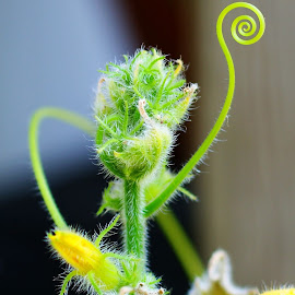 Cucumber Guy Says Hi by Rhonda Musgrove - Nature Up Close Gardens & Produce ( plant, cucumber, swirl, vine, green )