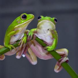 duet by Robert Cinega - Animals Amphibians