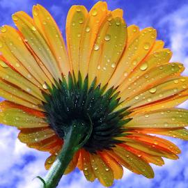 yellow gerber by LADOCKi Elvira - Flowers Single Flower ( nature, color, 2014, flowers, garden )