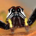 Epocilla Jumping Spider