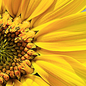 Partly Sunny by Dawn Vance - Flowers Single Flower ( green, sunflower, brown, yellow, close up, flower )