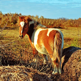 Gus, The Mini Horse... by Wendy  Walters - Animals Horses