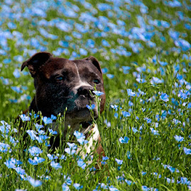 Smell of summer by Indies Images - Animals - Dogs Playing ( indiesimages, staffordshire bull terrier )