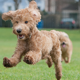 Yahoo by Michael  M Sweeney - Animals - Dogs Puppies ( labradoodie, labradoodle, play, fun, michael m sweeney, nikon, run, running )