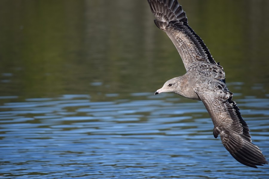 Fly By by Ed Hanson - Animals Birds ( water, gull, nature, in-flight, gray )