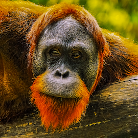 Orang Utan by Prodjo Tamansari - Novices Only Wildlife