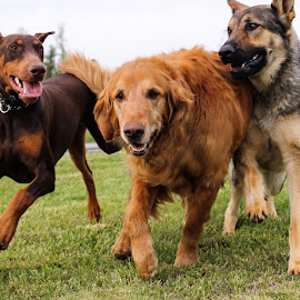 Three Amigos by Debra Martins - Animals - Dogs Running ( animals, dogs )