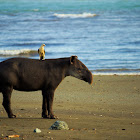 Danta/Tapir