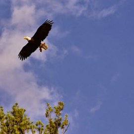 Eagle eye by Tracey Doak - Novices Only Wildlife ( bird, eagle, awesome, summer, kayak, fall, color, colorful, nature )
