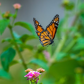Butterfly in flight by Kevin Mummau - Novices Only Wildlife ( butterfly, flight, wow, nature, color, insect )