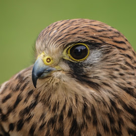Concentrated by Garry Chisholm - Animals Birds ( bird, garry chisholm, nature, wildlife, prey, raptor, kestrel, hawk )